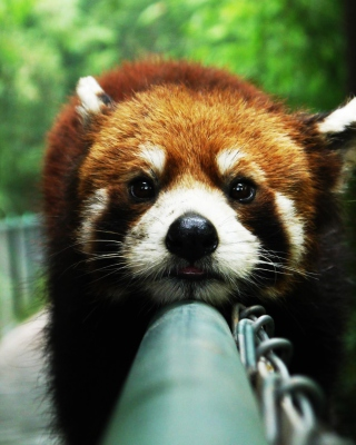 Cute Red Panda - Obrázkek zdarma pro Nokia 300 Asha