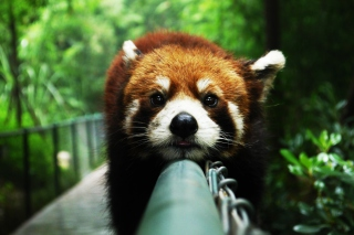 Cute Red Panda - Obrázkek zdarma pro Samsung Galaxy A5