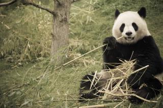 Happy Panda - Fondos de pantalla gratis para Sony Ericsson XPERIA PLAY