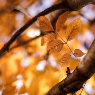 Yellow Macro Autumn Leaves - Obrázkek zdarma pro iPad