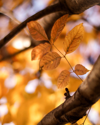 Yellow Macro Autumn Leaves - Obrázkek zdarma pro iPhone 6 Plus