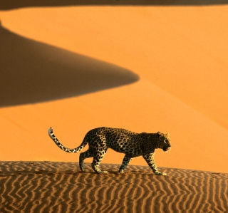 Cheetah In Desert - Obrázkek zdarma pro 320x320