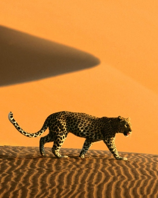 Cheetah In Desert - Obrázkek zdarma pro Nokia Lumia 820