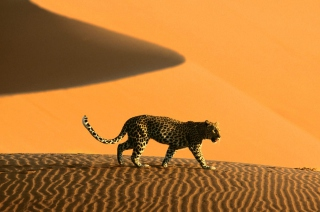 Cheetah In Desert - Obrázkek zdarma pro Samsung P1000 Galaxy Tab