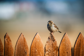 Sparrow Background for Android, iPhone and iPad