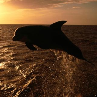 Dolphin - Ocean Life - Obrázkek zdarma pro iPad 3