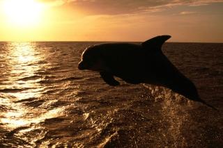 Dolphin - Ocean Life - Obrázkek zdarma pro 1152x864