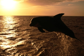 Dolphin - Ocean Life - Obrázkek zdarma pro Samsung Galaxy Tab 3