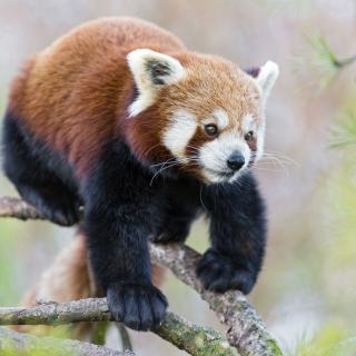 Cute Red Panda - Obrázkek zdarma pro iPad 3