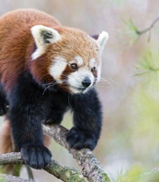 Cute Red Panda - Obrázkek zdarma pro Nokia X7