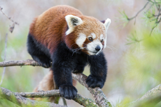 Cute Red Panda - Obrázkek zdarma pro 1366x768