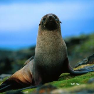 The Antarctic Fur Seal - Obrázkek zdarma pro 2048x2048