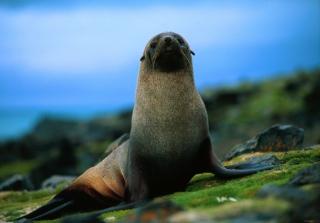 The Antarctic Fur Seal - Obrázkek zdarma pro Samsung Galaxy Nexus