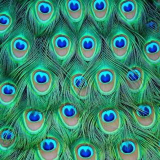 Peacock Feathers - Obrázkek zdarma pro iPad mini