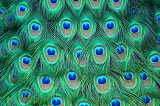 Peacock Feathers - Obrázkek zdarma pro Samsung Galaxy S4