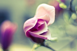 Pink Bloom Wallpaper for Android, iPhone and iPad