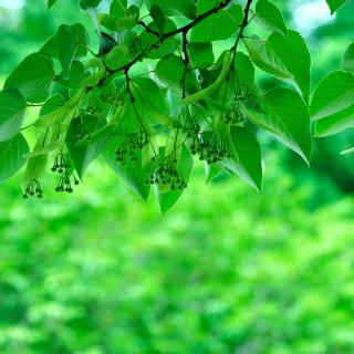 Green Aspen leaves - Obrázkek zdarma pro iPad 2