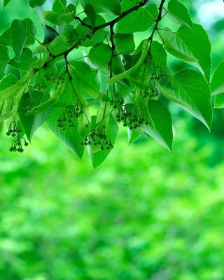 Green Aspen leaves - Obrázkek zdarma pro Nokia Asha 310