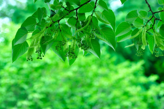 Green Aspen leaves Wallpaper for Android, iPhone and iPad