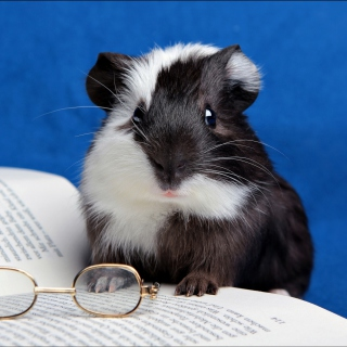 Guinea pig reads - Obrázkek zdarma pro 208x208