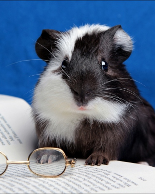 Guinea pig reads - Obrázkek zdarma pro 640x960