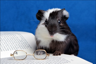 Guinea pig reads - Obrázkek zdarma pro Android 480x800