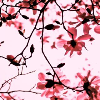 Magnolia Twigs - Obrázkek zdarma pro 1024x1024