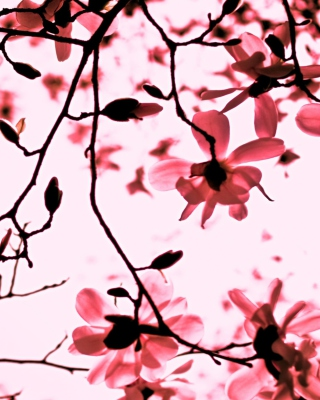 Magnolia Twigs - Obrázkek zdarma pro 640x960