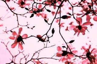 Magnolia Twigs - Obrázkek zdarma pro Samsung Galaxy S4