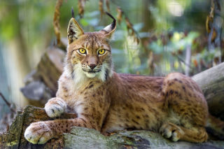 Lynx in the East Siberian forests Wallpaper for Android, iPhone and iPad