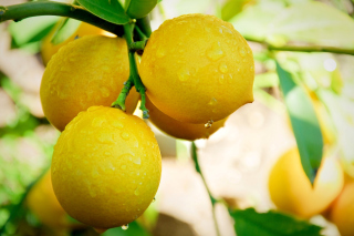 Lemon Drops - Obrázkek zdarma pro Samsung Galaxy S4