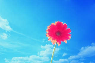 Pink Gerbera Background for Android, iPhone and iPad