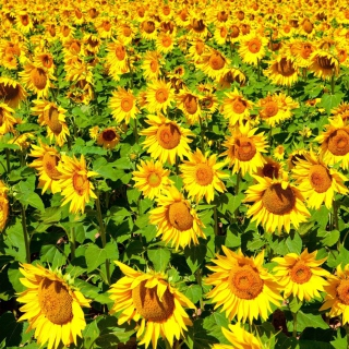 Sunflowers Field - Obrázkek zdarma pro 320x320