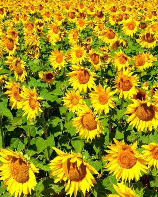 Sunflowers Field - Obrázkek zdarma pro 320x480
