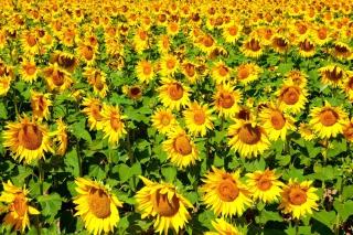 Sunflowers Field - Obrázkek zdarma pro Samsung Galaxy S 4G