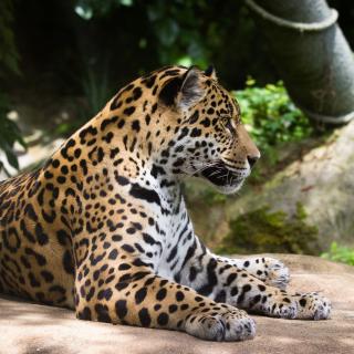 Jaguar Wild Cat - Obrázkek zdarma pro iPad 3