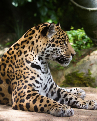 Jaguar Wild Cat - Obrázkek zdarma pro Nokia Asha 502