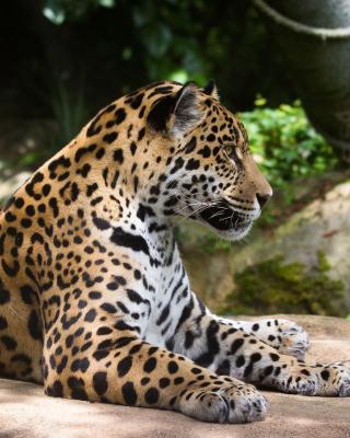 Jaguar Wild Cat - Obrázkek zdarma pro iPhone 6 Plus
