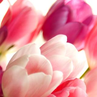 Delicate Tulips Macro Photo - Obrázkek zdarma pro iPad 3