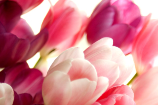 Delicate Tulips Macro Photo - Obrázkek zdarma pro Samsung Galaxy S3