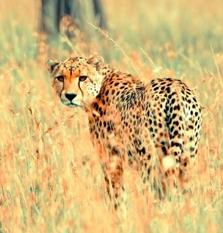 Beautiful Cheetah - Obrázkek zdarma pro 128x128