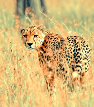 Beautiful Cheetah - Obrázkek zdarma pro Nokia Lumia 820