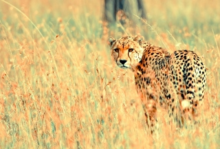 Beautiful Cheetah - Obrázkek zdarma pro 1920x1200