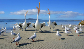 Seagulls And Pelicans Picture for Android, iPhone and iPad