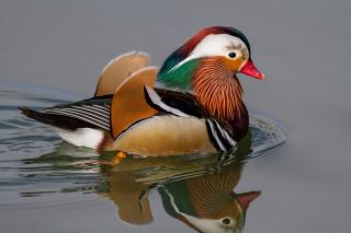 Mandarin Duck - Obrázkek zdarma pro 1920x1408