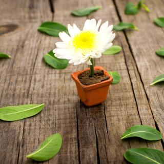 How to grow Daisies - Obrázkek zdarma pro iPad Air