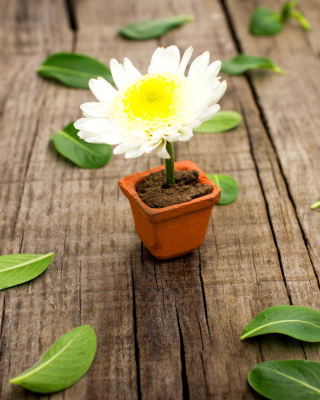 How to grow Daisies - Obrázkek zdarma pro iPhone 6 Plus