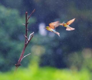 European Bee-eater - Obrázkek zdarma pro 128x128