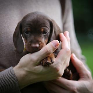 Dachshund Puppy - Obrázkek zdarma pro 1024x1024