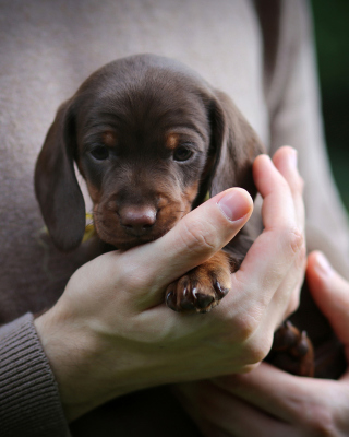 Dachshund Puppy - Obrázkek zdarma pro iPhone 4